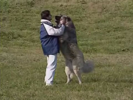 Video: Caucasian mountain dogs are bear-hunting giants