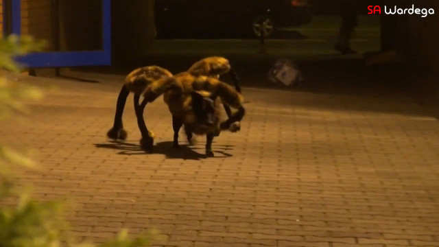Video Giant spider-dog prank is really clever hilarious and all sorts of terrifying - BelfastTelegraph.co.uk & Video: Giant spider-dog prank is really clever hilarious and all ...