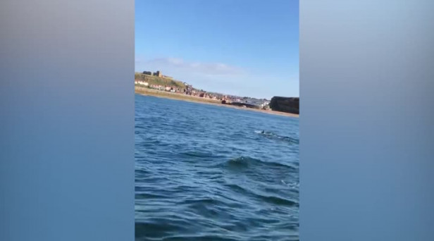 Pod Of Dolphins Play In Waves Off Whitby Coast